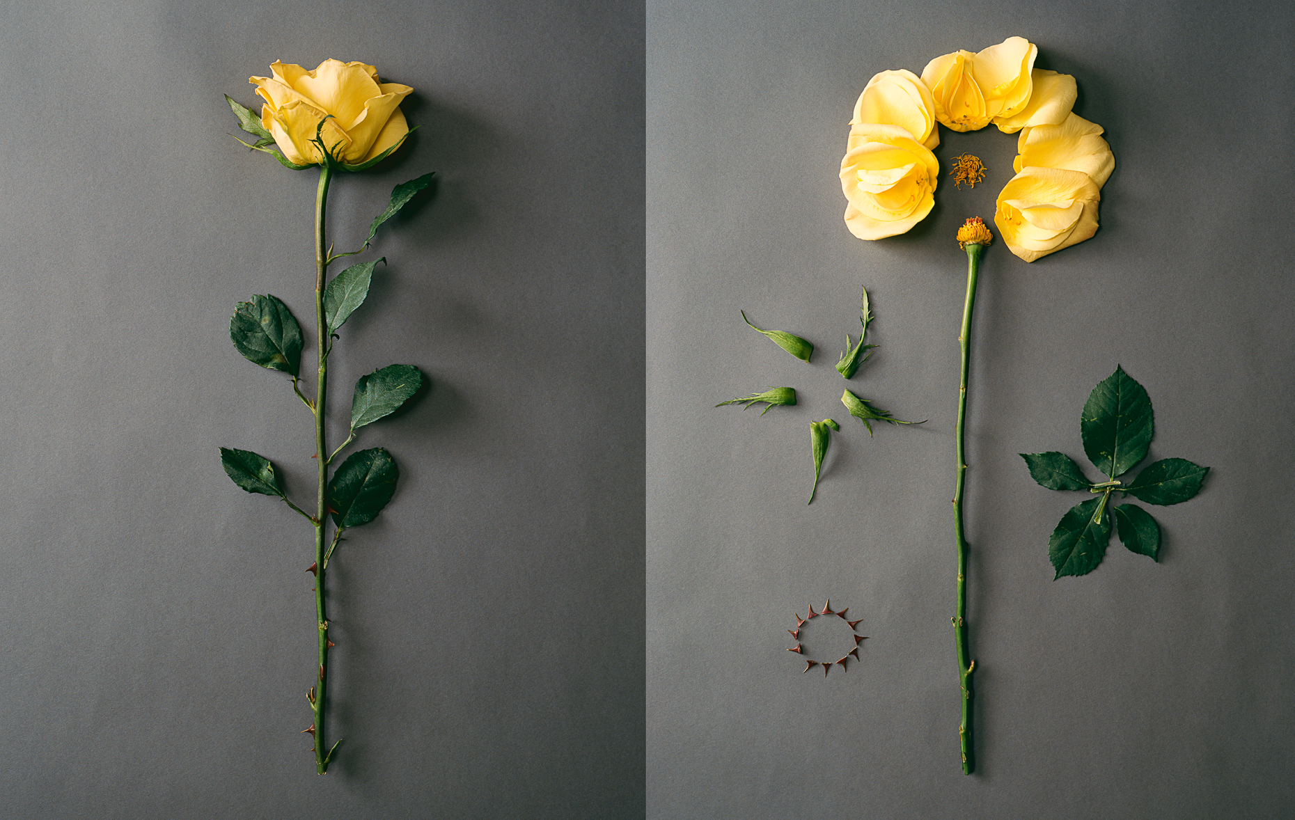 yellow_rose_diptych